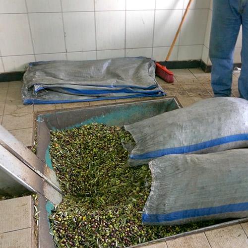 Rozos Oil Παραλαβή του καρπού